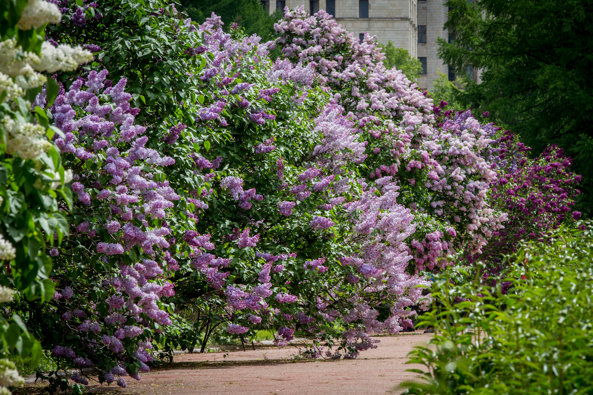 сирень в Ботаническом саду МГУ