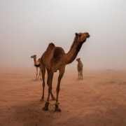 Верблюды в пустыне