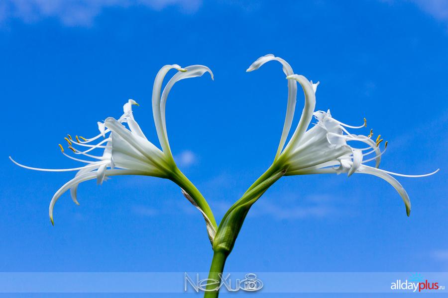Я люблю все цветы, выпуск 210 | Исмена.