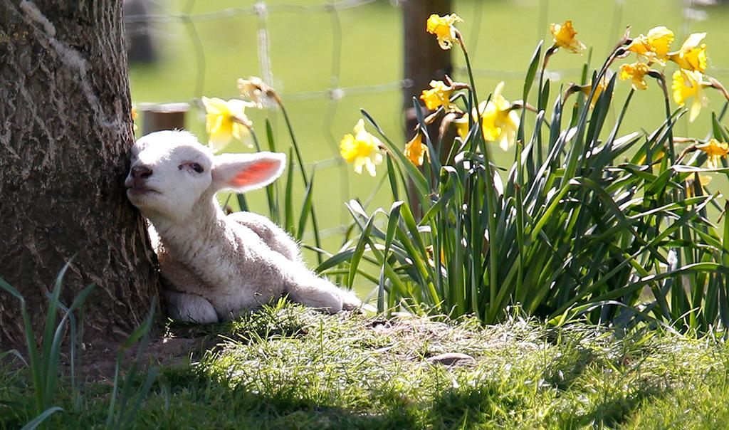 458955__spring-lamb_p.jpg