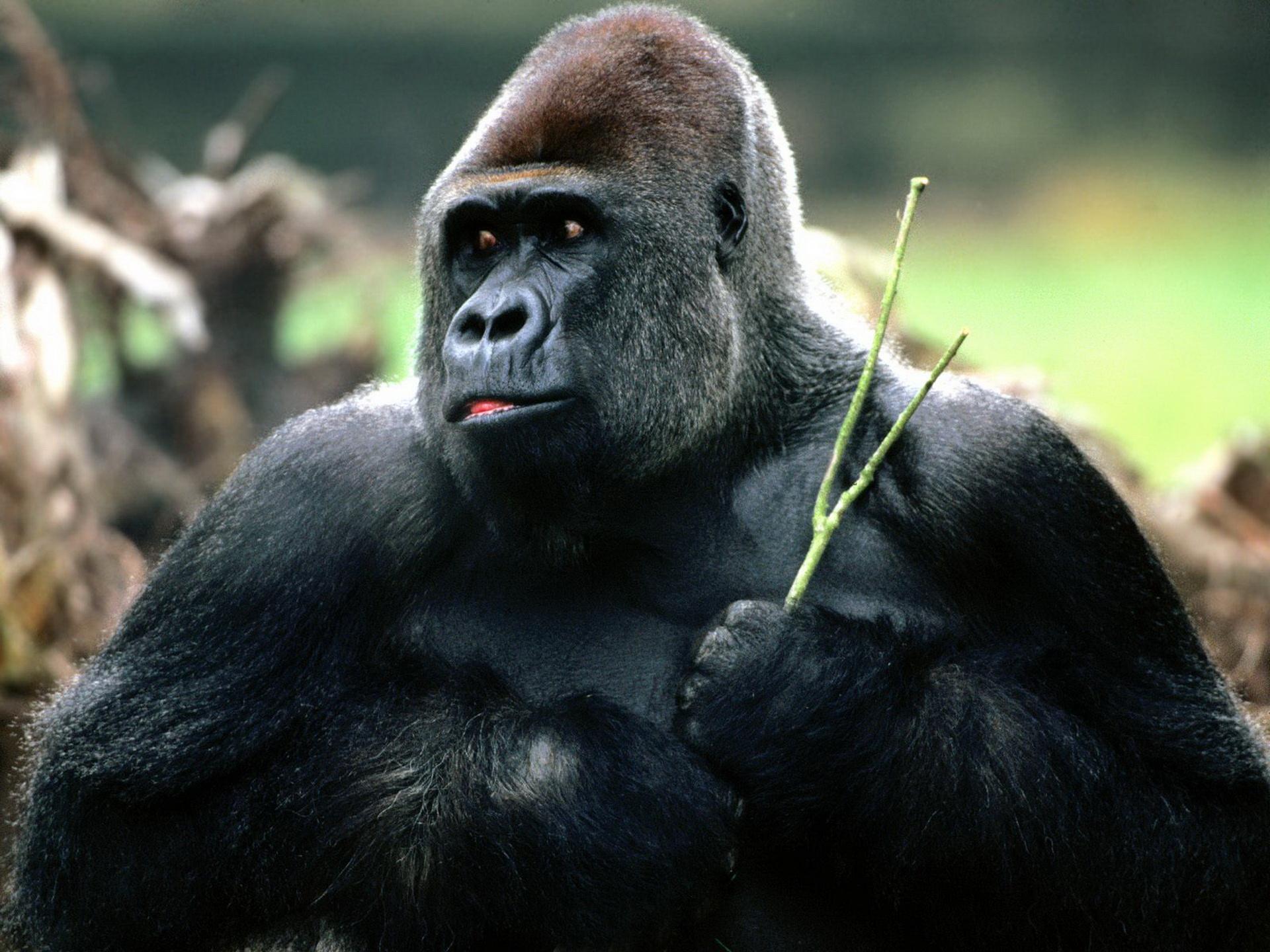 Мудра горила