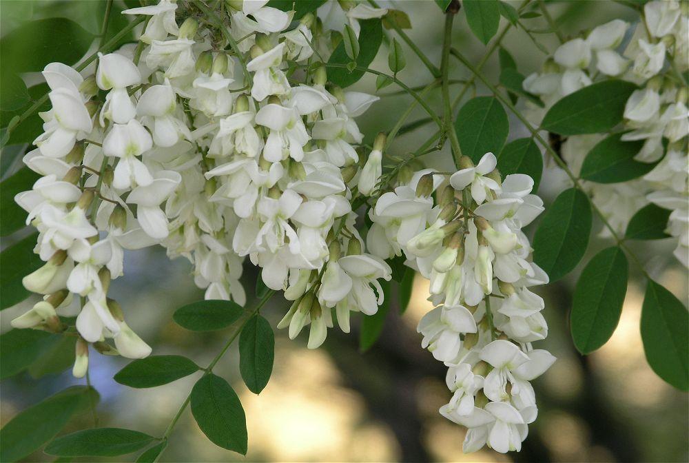 Белой акации цветки