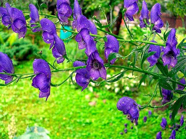 6. Аконит Это высокое растение с темно-синими цветками может по праву считаться из-за своей ядовитос