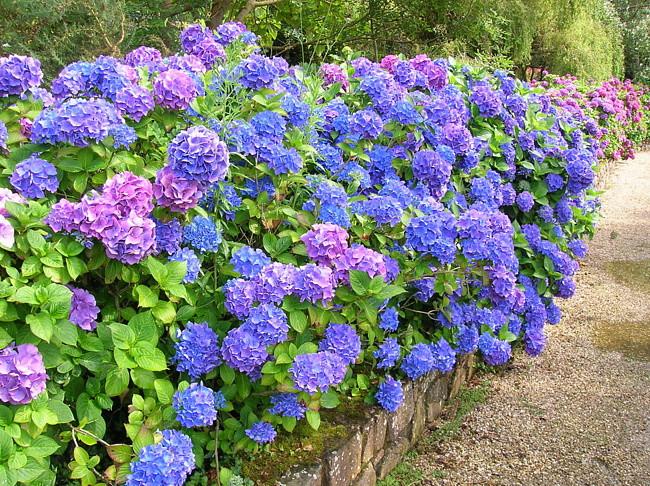 12. Гортензия Этот великолепный цветок нередко становится украшением парковых цветников и клумб. Вот