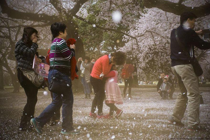Учитывая разницу в климате между югом и севером, цветение сакуры в Японии растягивается более чем на