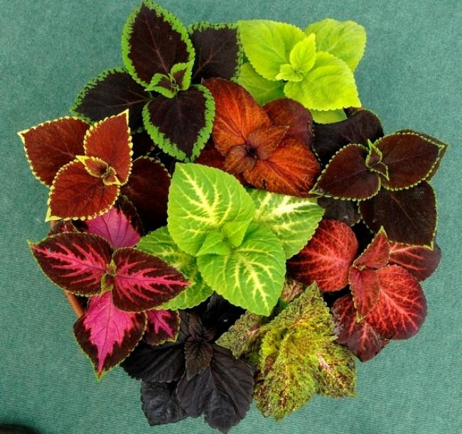 Колеус (Solenostemon)— тенелюбивое растение, нетребует постоянных подкормок, пересадок, хорошо пер