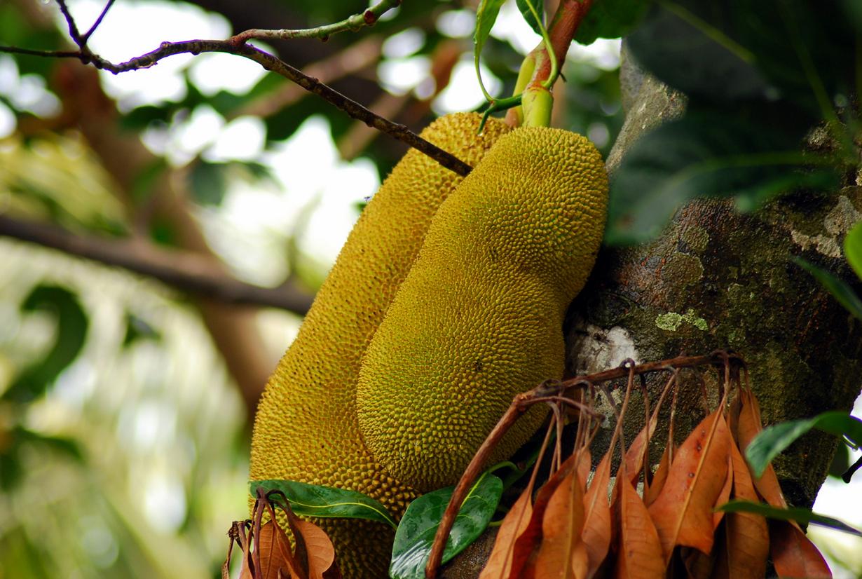 Джекфрут. Мякоть плода источает приятный аромат, напоминающий запах банана и ананаса, в то время