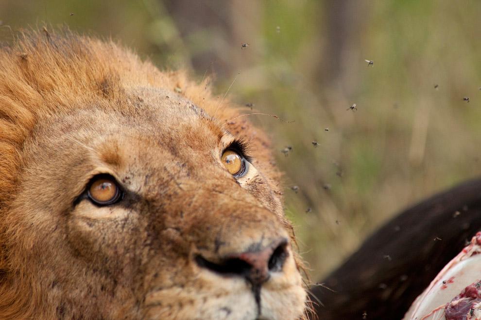 Убийство знаменитого льва Сесила вызвало большой международный резонанс, возмущение защитников