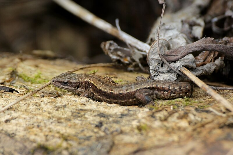 Ящерица с оторванным хвостом на бревне среди мха