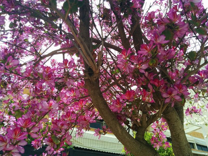 И опять Баухиния(орхидейное дерево).