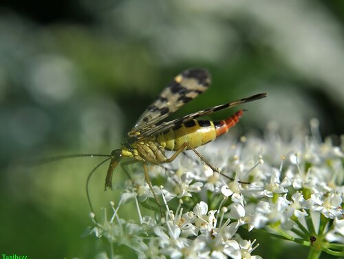 Скорпионница обыкновенная / Panorpa communis (самка)