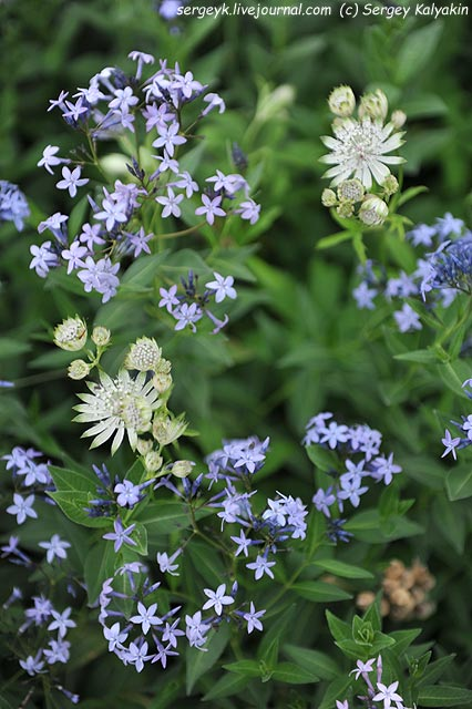 Amsonia ciliata Astrantia major Shaggy.JPG