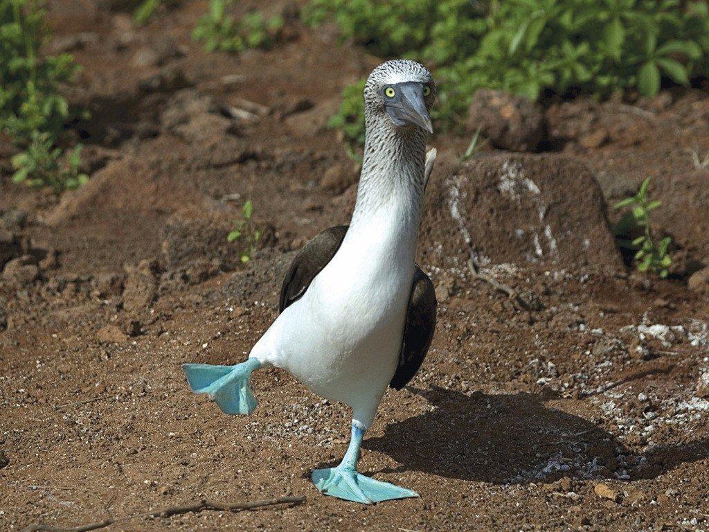 Никто не сможет устоять перед грацией голубоногой олуши