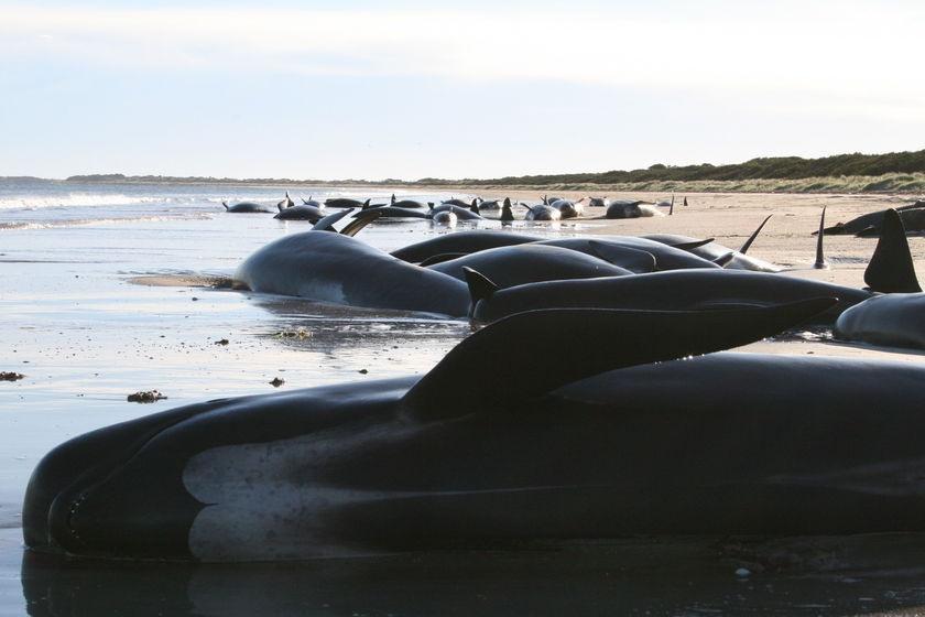 Почему киты и дельфины выбрасываются на берег (1 фото)