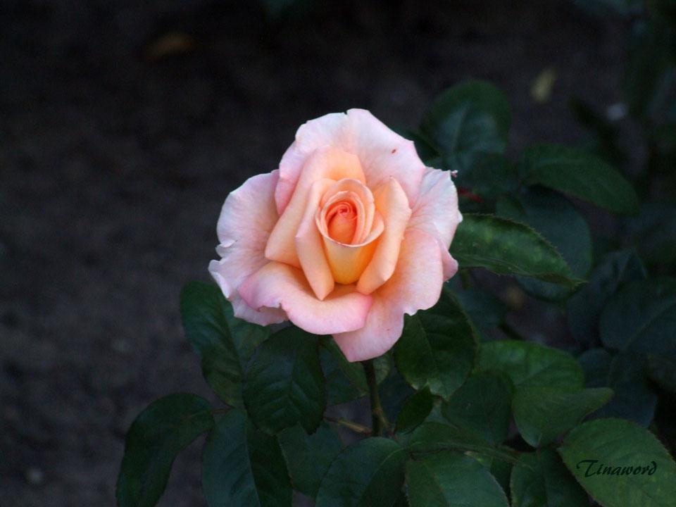 роза-5.jpg