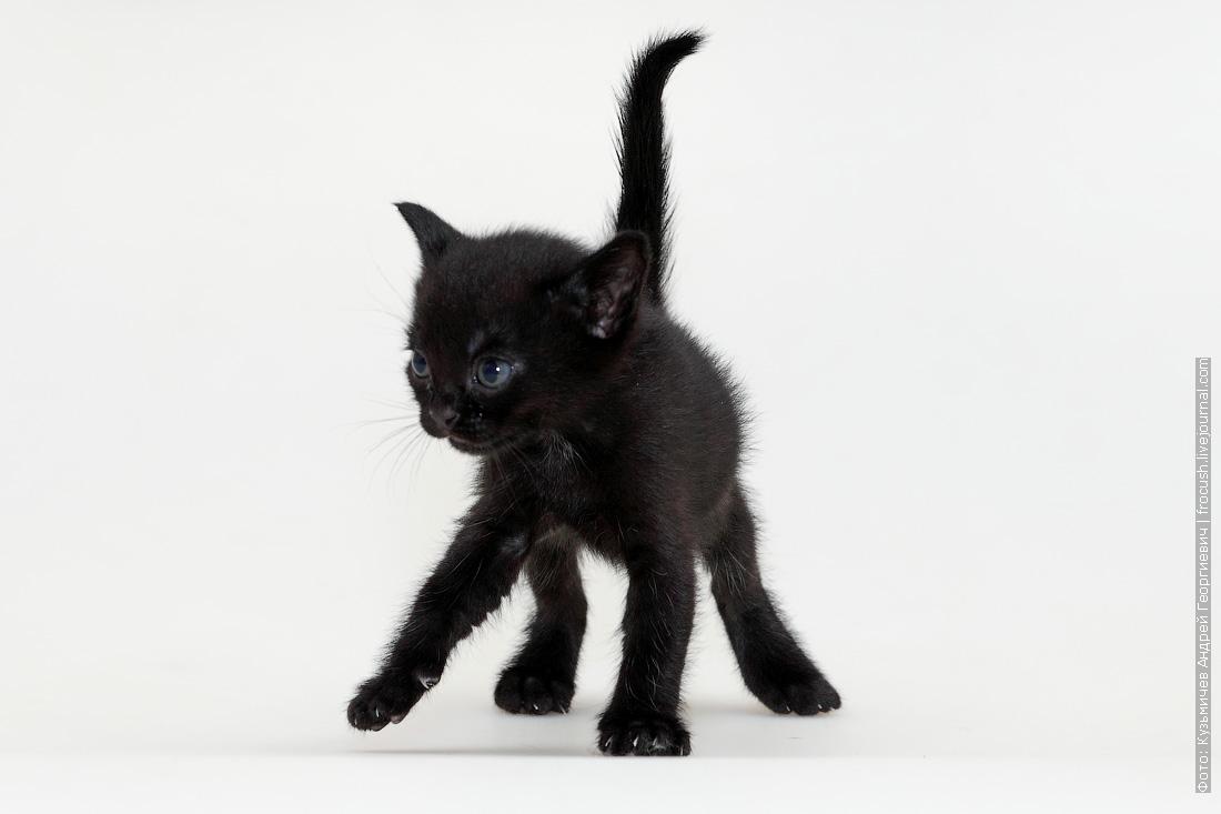 котенок Бомбейской кошки продажа
