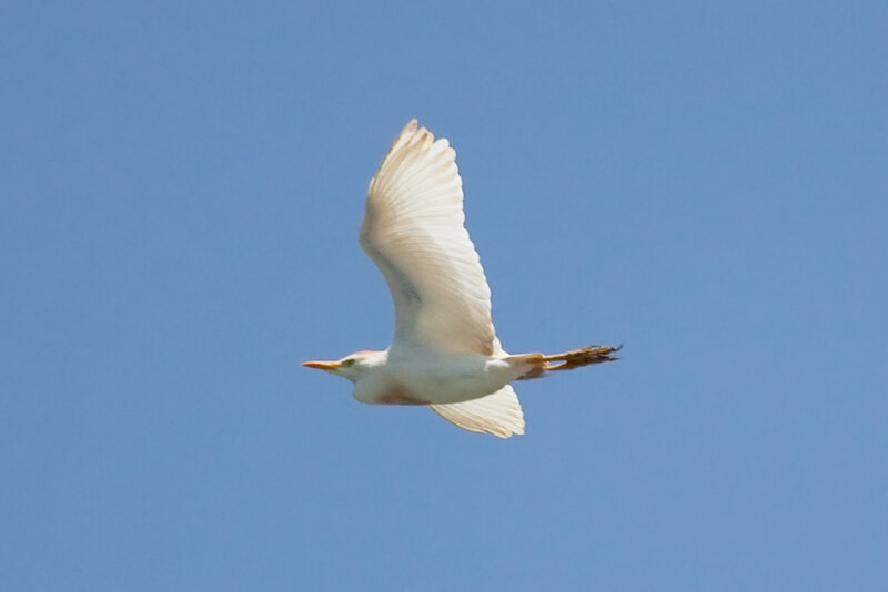 Египетская цапля (Bubulcus ibis ibis)