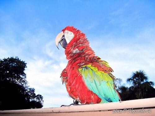 Амазонский попрошайка