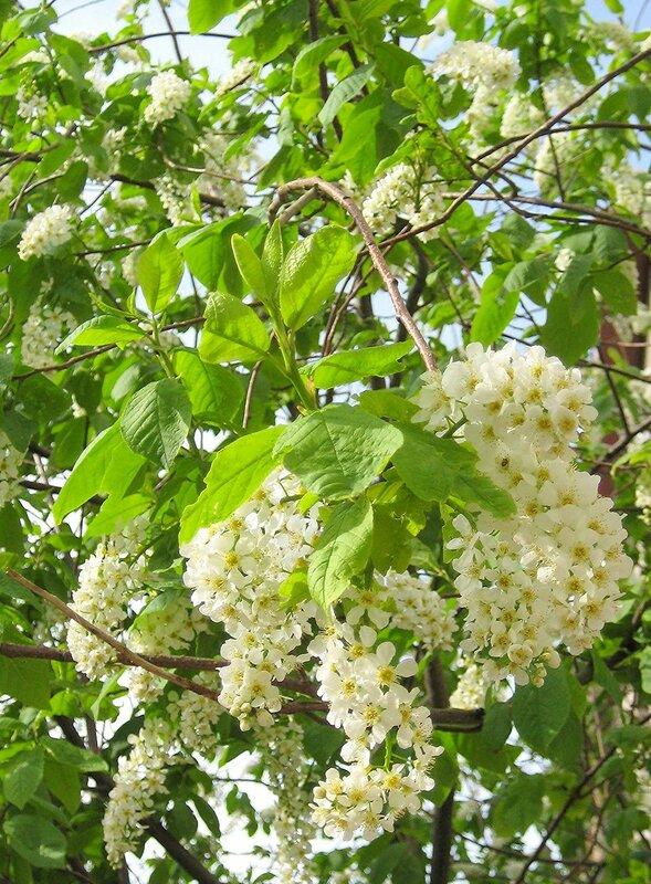 Цветет черемуха к похолоданию...