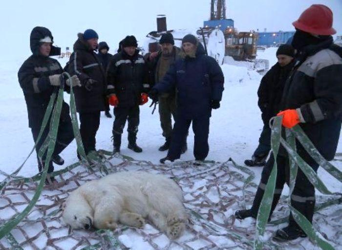 Белый медведь в гостях у нефтяников