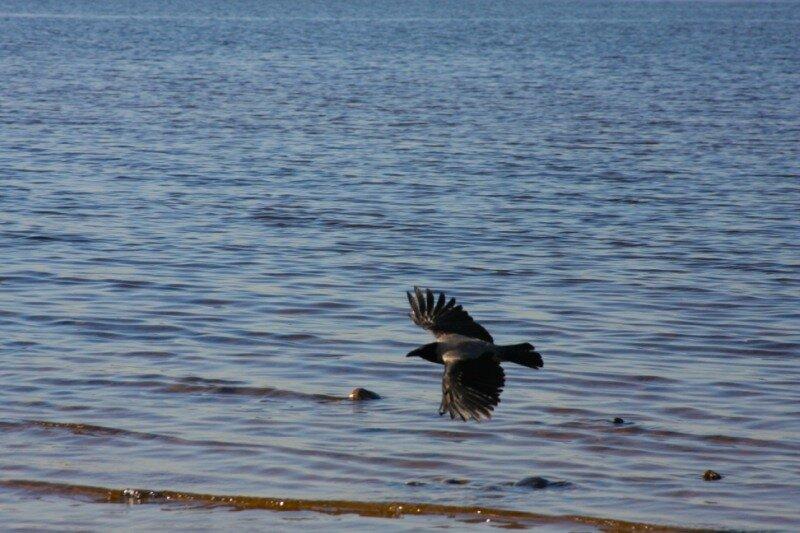 ворона над Финским заливом