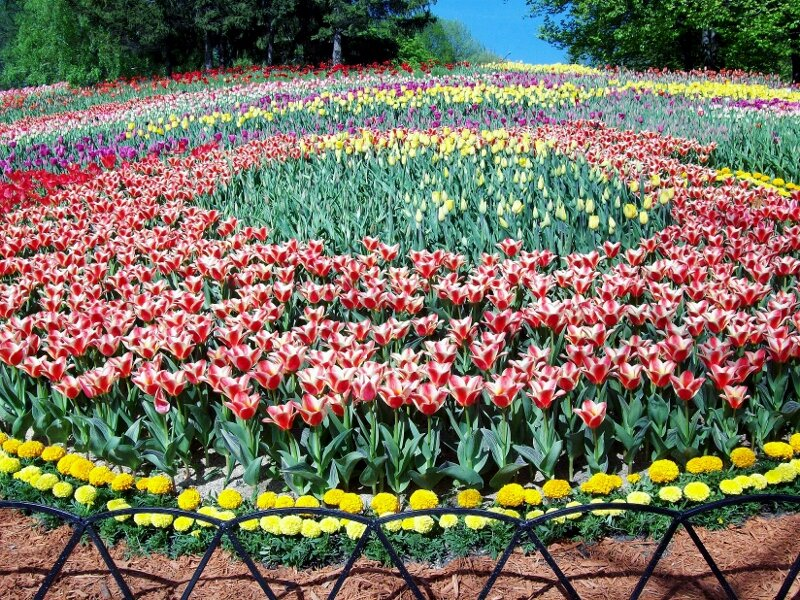 Клумба тюльпанов на певческом поле
