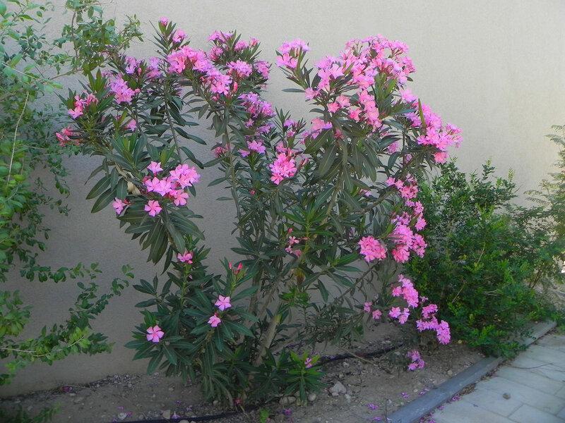 "Ботанический сад кибуца ""Эйн Геди"" Олеандр"