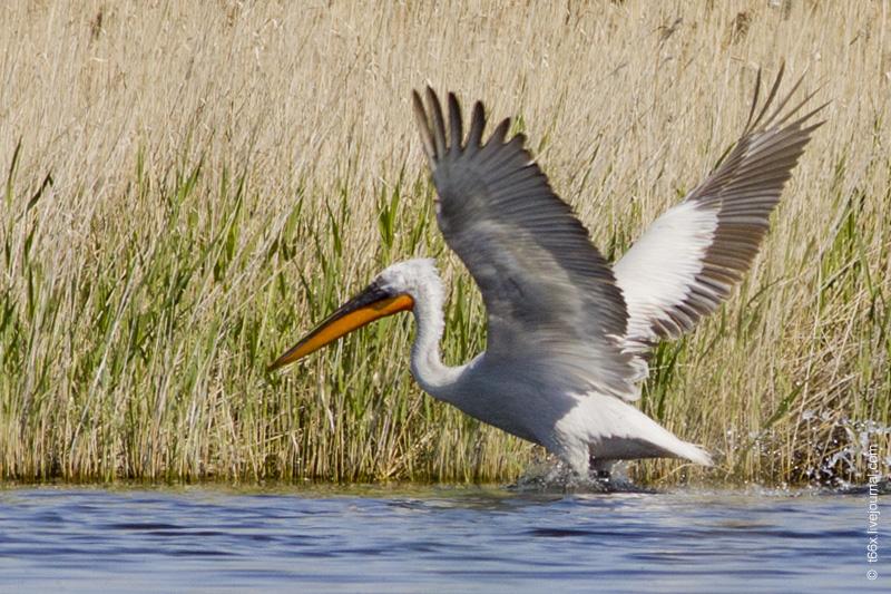 Птицы Курлады, пеликаны Челябинск, кудрявый пеликан