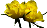 punk_2010_yellow_roses.png