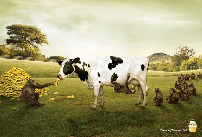 молоко со вкусом банана - чем еще покормить корову?