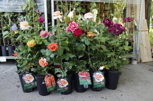 Розы Harkness в горшках 3 л