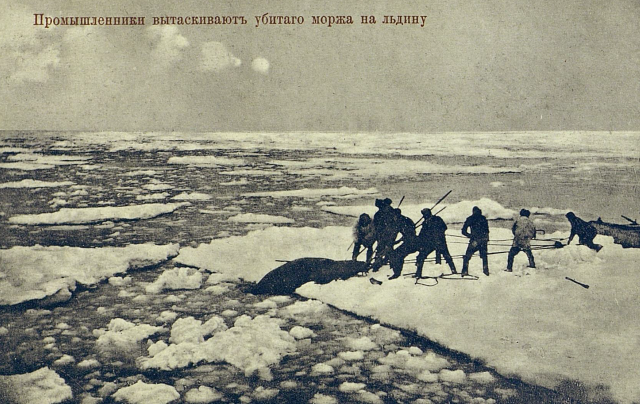 Промышленники вытаскивают убитого моржа на льдину