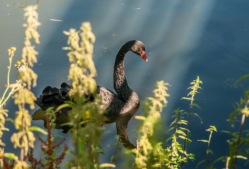 Черный лебедь в солнечных лучах