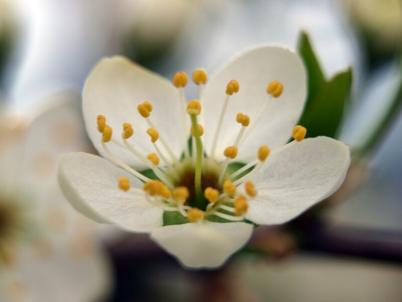 сакура цветущий тёрн P5132337.jpg