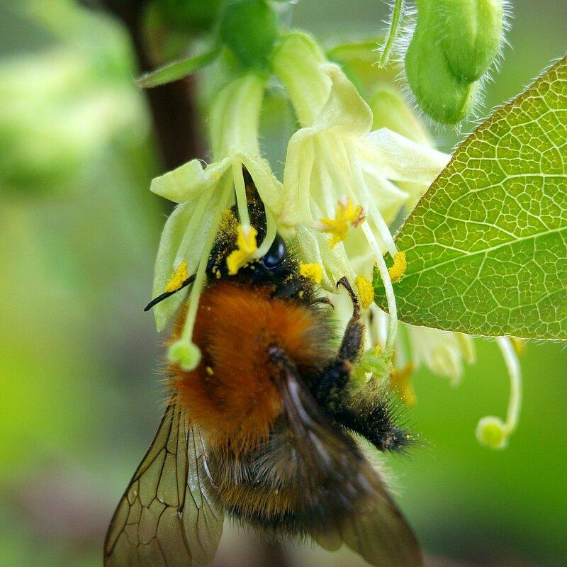 Шмель собирает нектар на жимолости