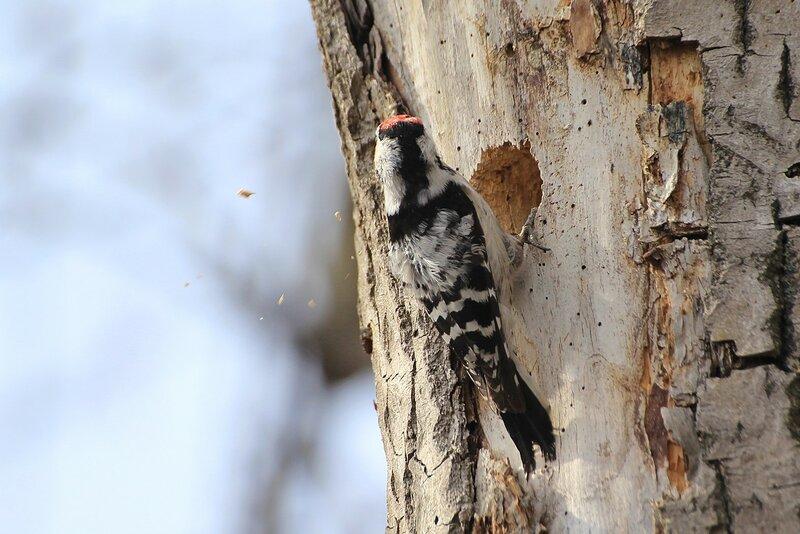 Малый пёстрый дятел (лат. Dendrocopos minor либо Picoides minor) выдалбливает и углубляет дупло для гнезда в старом тополе, так что летят опилки
