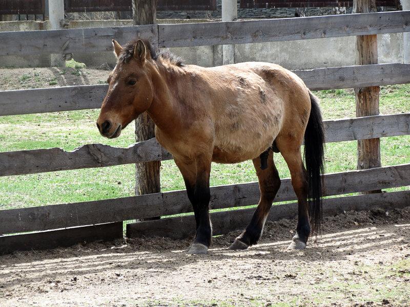 Боровое, Музей Природы, зоопарк, лошадь Пржевальского - 2012 год. Комментарии к фото - Кокшетау Онлайн