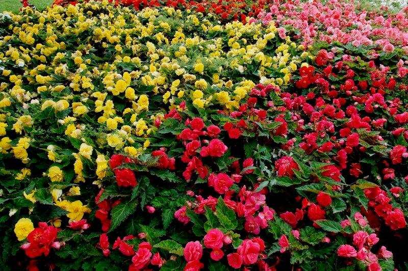 Картинки цветов бегония 5