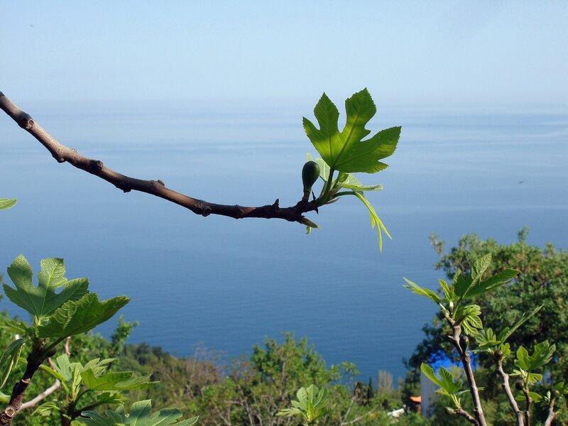 Крым,весна,Людочкин сад,инжир