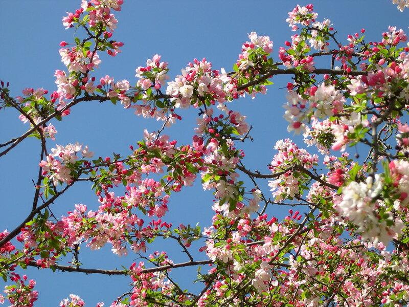 яблони в цвету фото
