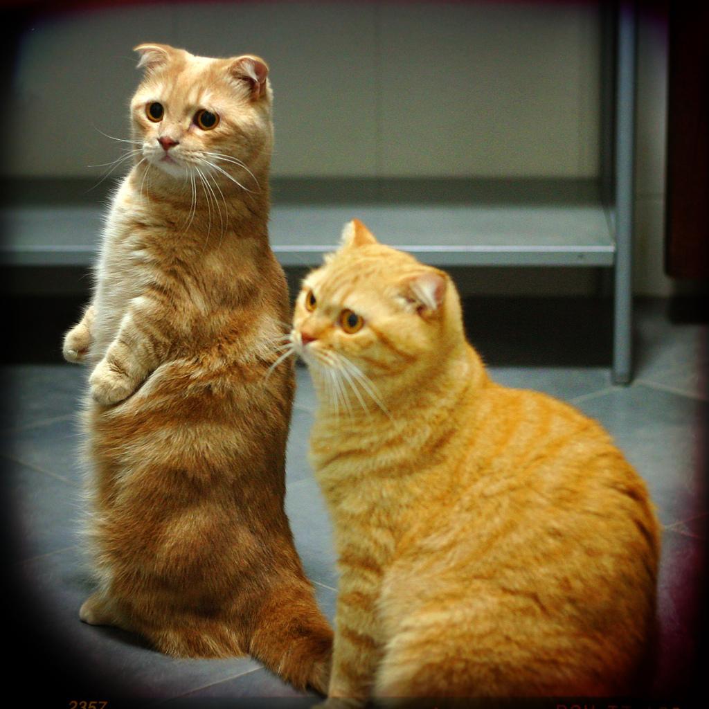 Коты дворянин