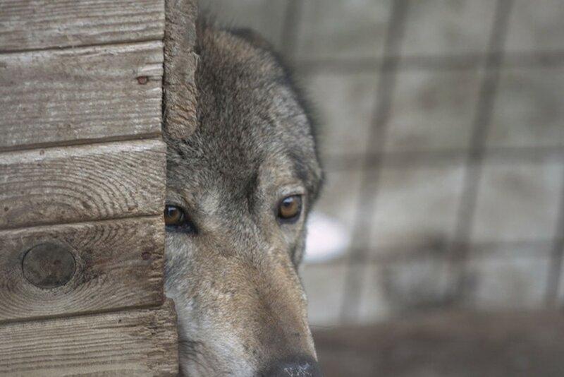 Девушка выгуливает своих волков среди жилых домов