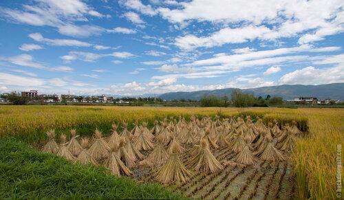 рисовые поля по дороге к озеру Эр-Хай, провинция Юньнань, Китай