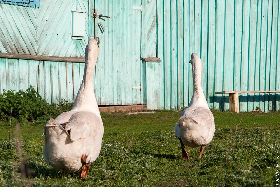 два гуся идут задом от меня
