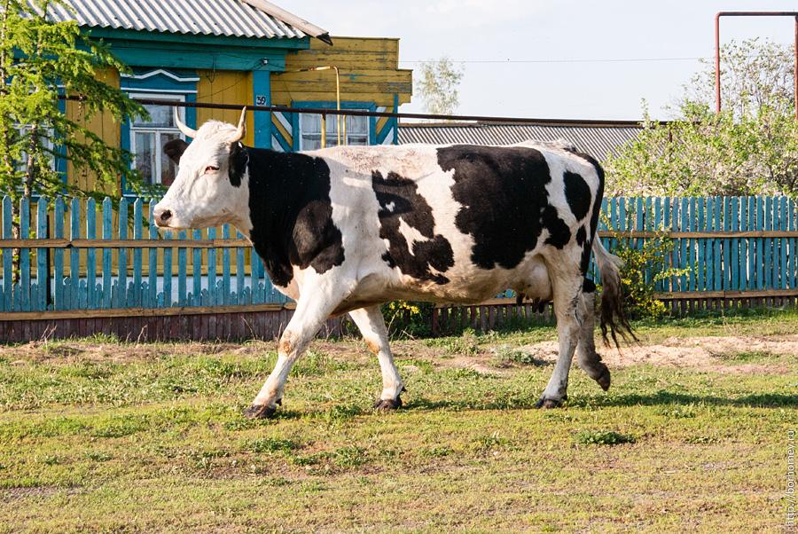 корова с черными пятнами