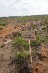 лесопосадки Шатура дуб Серебрякова.jpg