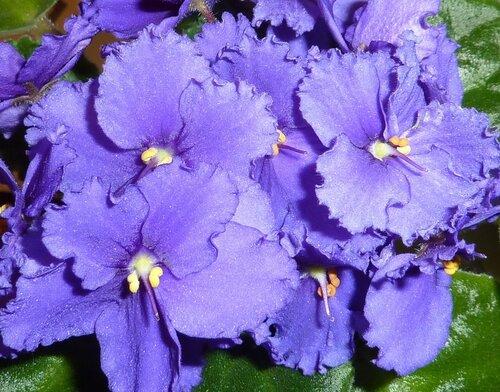 Фиалка узумбарская простая, дает обильное цветение