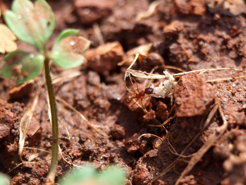 муравей тащит груз