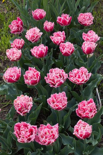 тюльпан квинсленд фото