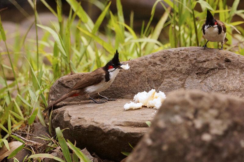 Бюльбюли Краснощёкий настоящий бюльбюль ( Pycnonotus jocosus).jpg